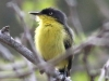 Common Tody-flycatcher