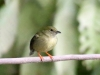 Lance-tailed Manakin female