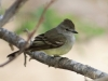 Northern Scrub-flycatcher2