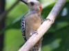 Red-crowned Woodpecker2