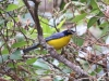 Santa Marta Mountain-tanager
