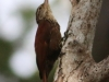 Straight-billed Woodcreeper2