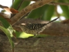 Stripe-backed Wren