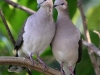 White-tipped Doves