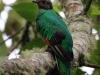 White-tipped Quetzal female
