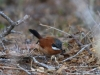 White-whiskered Spinetail2