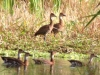 West Indian Whistling-ducks