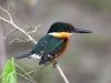 american-pygmy-kingfisher3