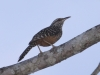 band-backed-wren