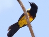 black-cowled-oriole