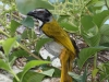 black-headed-saltator