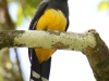 black-headed-trogon