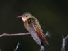 cinnamon-hummingbird