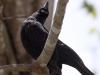 giant-cowbird
