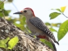 golden-fronted-woodpecker