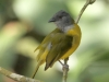 gray-headed-tanager