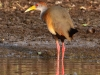 gray-necked-wood-rail2