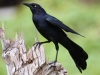 great-tailed-grackle