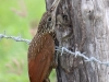 ivory-billed-woodcreeper2
