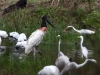jabiru-and-egrets