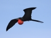 magnificent-frigatebird-flight