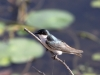mangrove-swallow