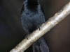 melodious-blackbird