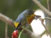 olive-backed-euphonia
