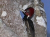 pale-billed-woodpecker