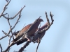 red-billed-pigeons