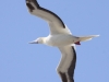 red-footed-booby-flight