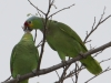 red-lored-parrots