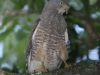 roadside-hawk
