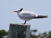 royal-tern-juvenile