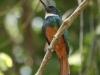 rufous-tailed-jacamar