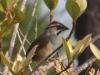 rusty-sparrow2