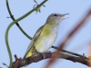yellow-green-vireo