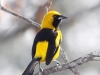yellow-tailed-oriole