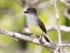 yucatan-flycatcher