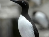 Common murre bridled form