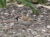 Eurasian Tree Sparrow2