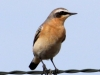 Northern wheatear2