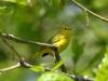 yellow-warbler2