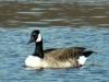 canada-goose