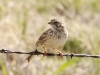 vesper-sparrow