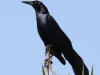 001-great-tailed-grackle