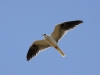 003-white-tailed-kite