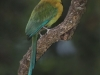 011-blue-crowned-motmot