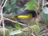 025-black-and-yellow-silky-flycatcher