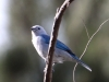 039-blue-gray-tanager